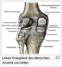 Beispiel: Linkes Kniegelenk des Menschen, Ansicht von hinten